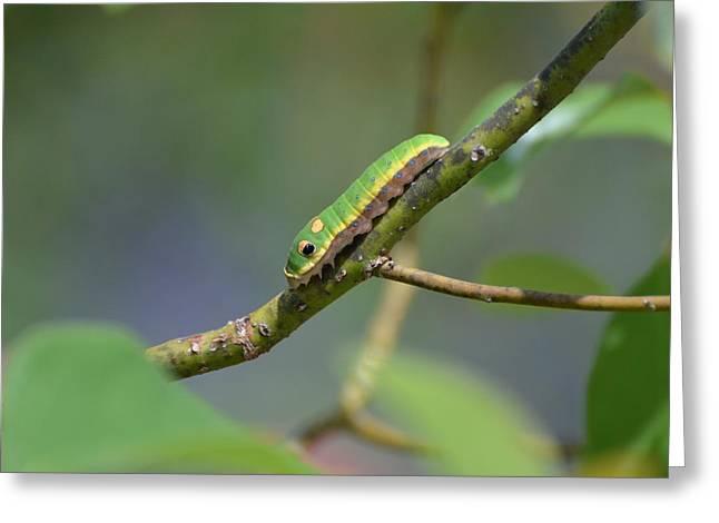 Pipevine Swallowtail Caterpillar Greeting Card by Jodi Terracina