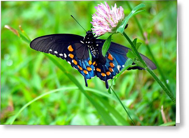 Pipevine Swallowtail Hanging On Greeting Card