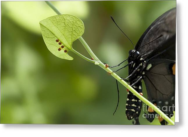 Greeting Card featuring the photograph Pipevine Swallowtail Mother With Eggs by Meg Rousher