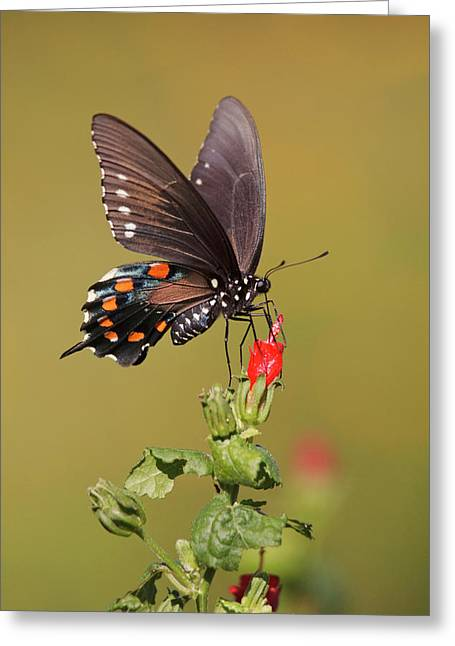 Pipevine Swallowtail Nectaring Greeting Card by Larry Ditto