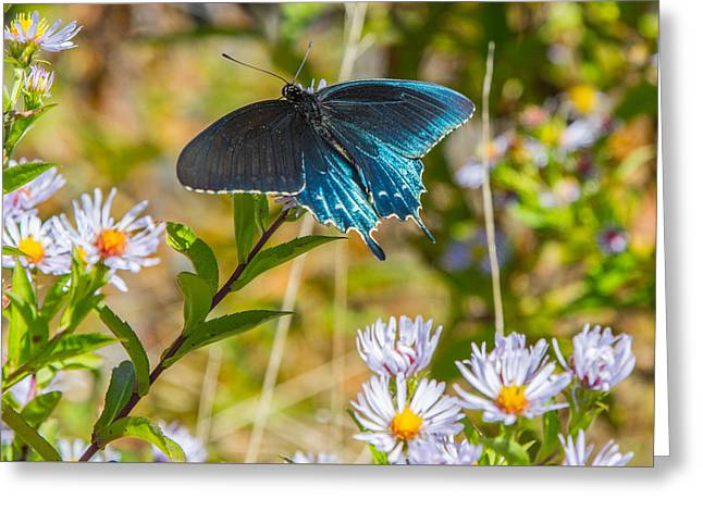 Pipevine Swallowtail On Asters Greeting Card by John Haldane