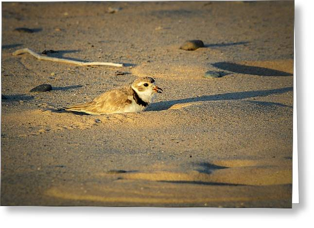Piping Plover Adult Greeting Card