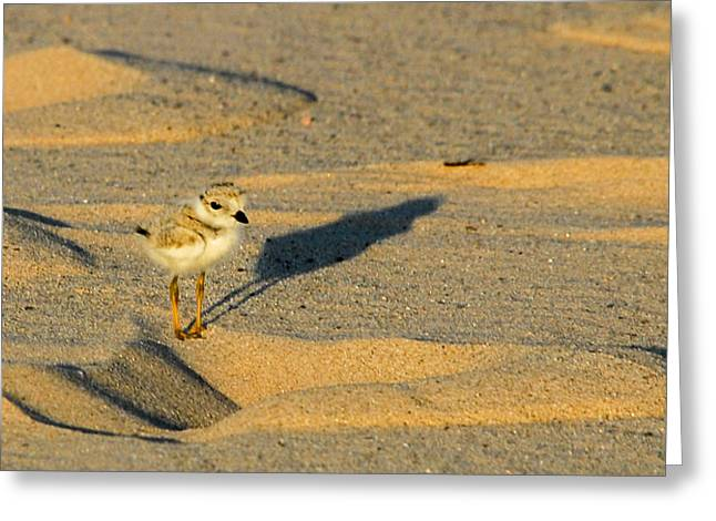 Piping Plover Chick Greeting Card