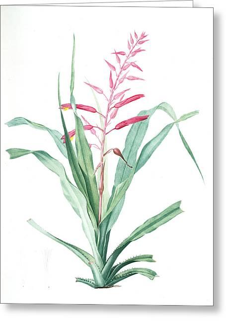 Pitcairnia Bromeliaefolia, Pitcairnia Faux-ananas, Scarlet Greeting Card by Artokoloro