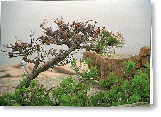 Pitch Pine Greeting Card by Jim Cook