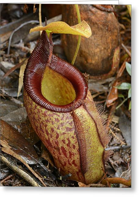 Pitcher Plant Palawan Island Philippines Greeting Card by Ch'ien Lee