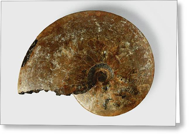 Placenticeras Fossil Greeting Card