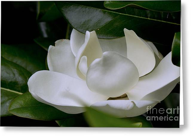 Plain Magnolia Greeting Card