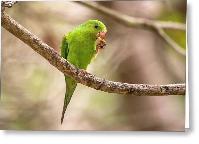 Plain Parakeet Brotogeris Tirica Greeting Card