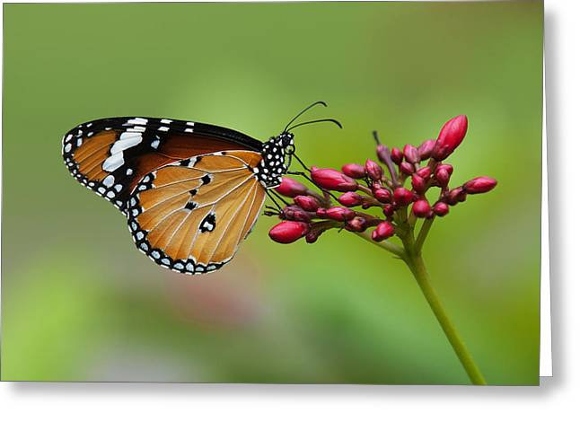 Plain Tiger Or African Monarch Butterfly Dthn0008 Greeting Card