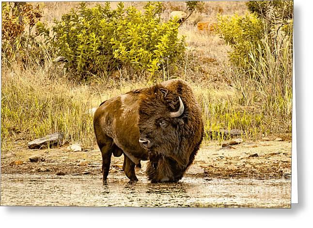 Plains Buffalo At Creekside Greeting Card