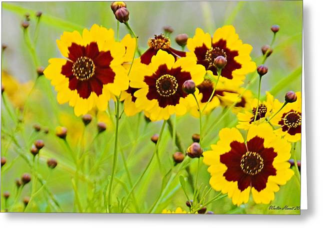 Plains Coreopsis Greeting Card