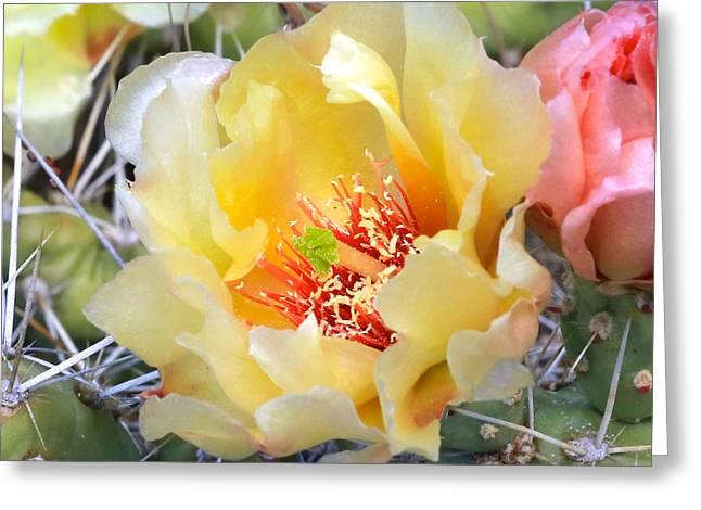 Plains Prickly Pear Flower Greeting Card by Carol Groenen