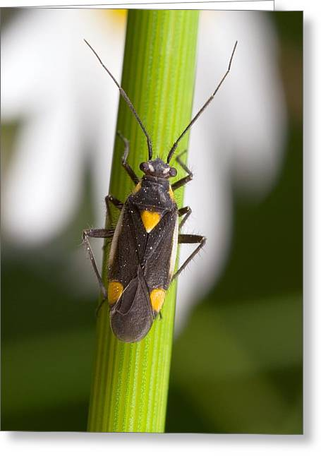 Plant Bug Greeting Card by Science Photo Library