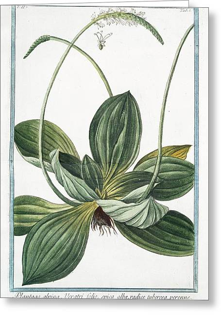 Plantago Alpina Greeting Card