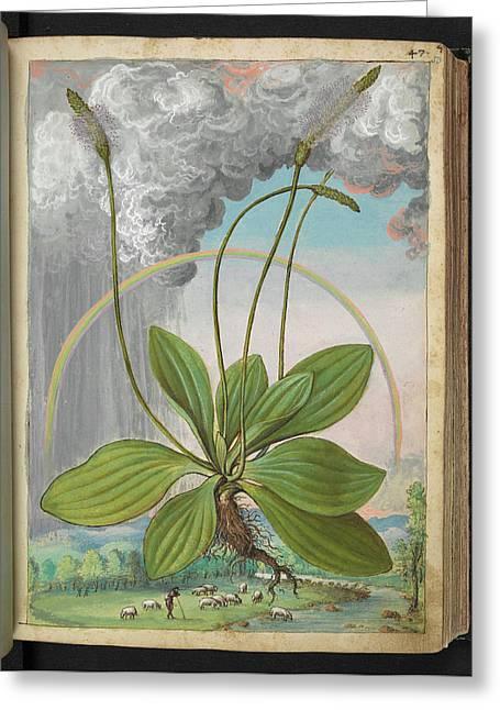 Plantain (plantago Sp.) Greeting Card