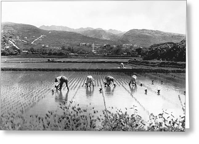 Planting Rice In Hawaii Greeting Card by Underwood Archives