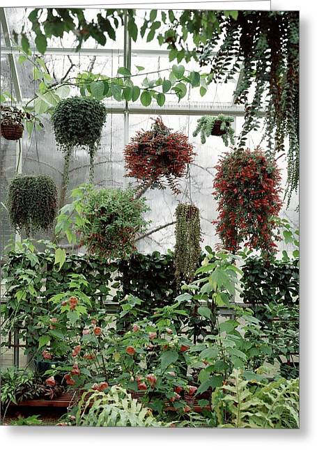 Plants Hanging In A Greenhouse Greeting Card