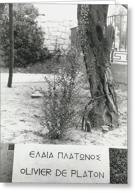 Plato�s Tree Greeting Card by Retro Images Archive