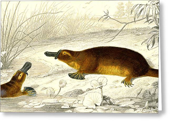 Platypus Greeting Card by Collection Abecasis