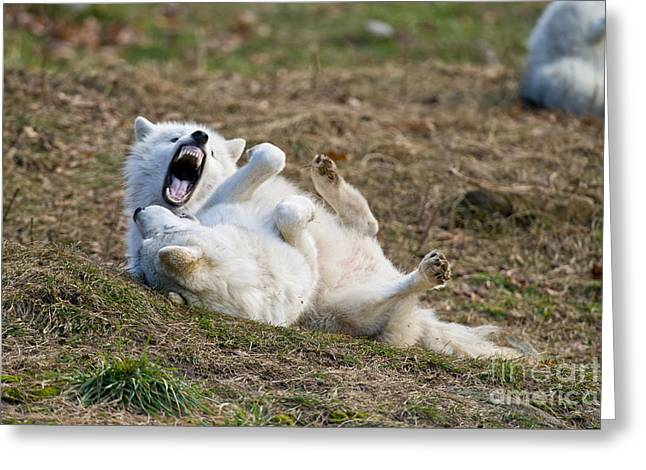 Greeting Card featuring the photograph Playful Arctic Wolves by Wolves Only