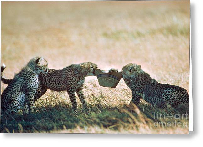 Playful Cheetah Cubs Acinonyx Jubatus Greeting Card by Gregory G. Dimijian, M.D.