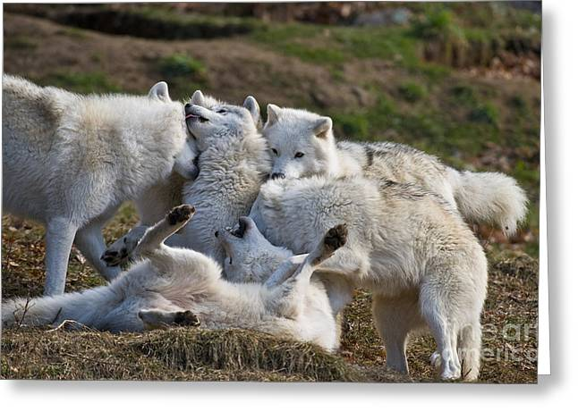 Greeting Card featuring the photograph Playful Pack by Wolves Only