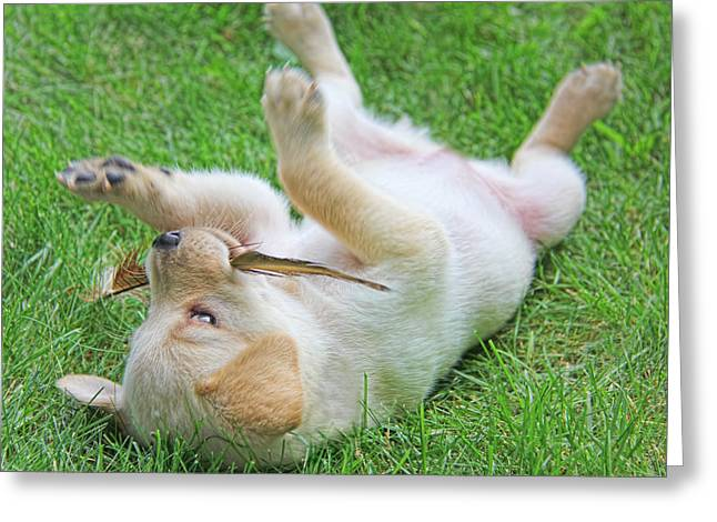 Playful Yellow Labrador Retriever Puppy Greeting Card by Jennie Marie Schell