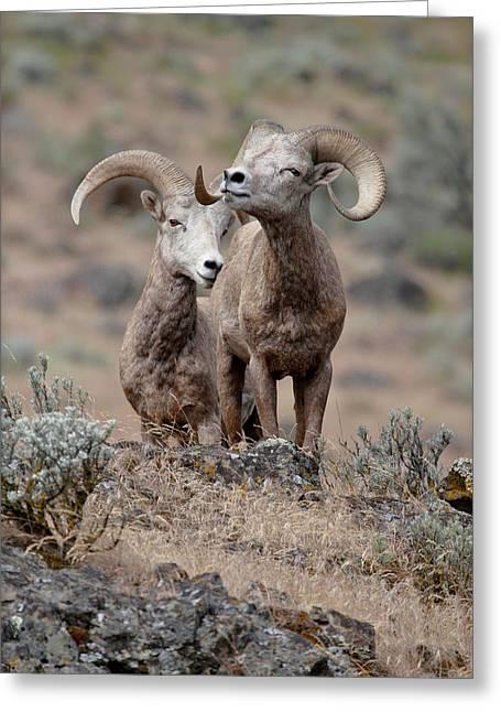 Playfull Rams Greeting Card by Athena Mckinzie