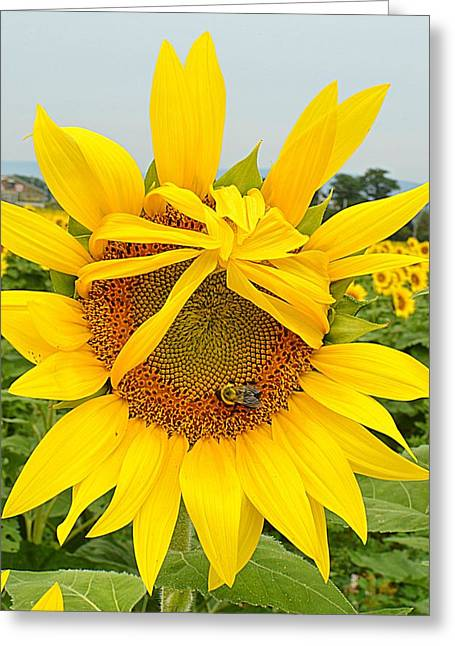 Pleading Sunflower Greeting Card