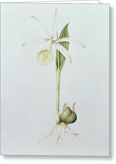 Pleione Formosana Alba Greeting Card