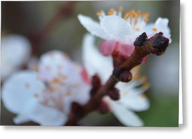 Plum Blossom 1.1 Greeting Card
