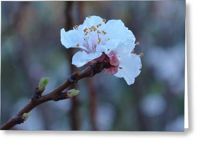 Plum Blossom 1.4 Greeting Card