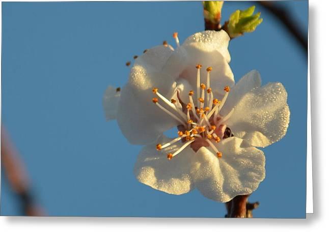 Plum Blossom 1.6 Greeting Card