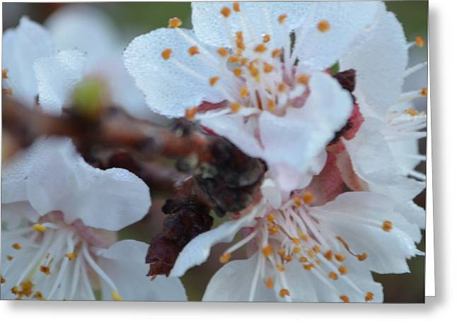 Plum Blossom 1.2 Greeting Card