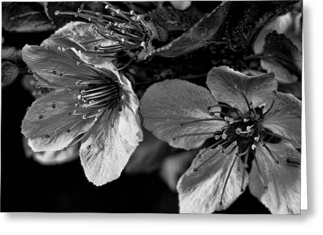 Greeting Card featuring the photograph Plum Blossoms   Black   White by Robert Culver