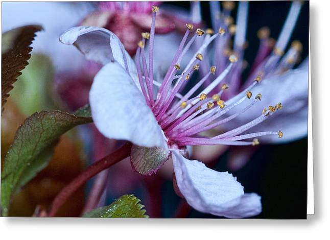 Greeting Card featuring the photograph Plum Blossoms by Robert Culver