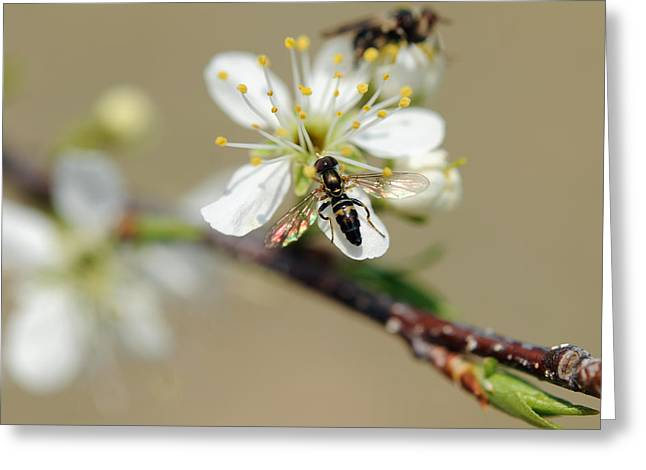 Plum Pollinator  Greeting Card by Giffin Photography