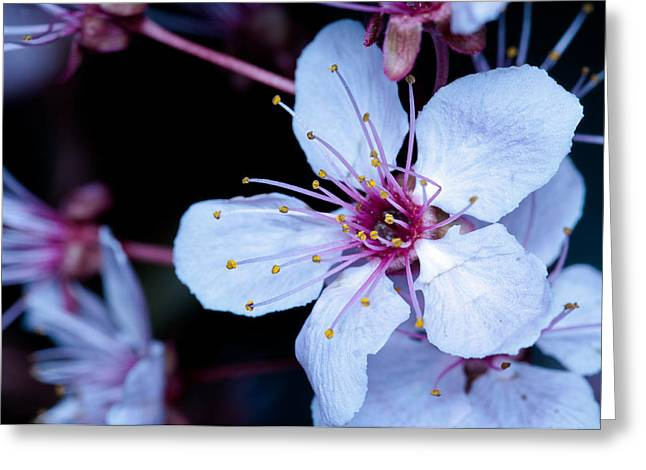 Greeting Card featuring the photograph Plum Tree Blossom IIi by Robert Culver