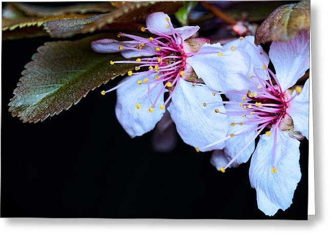 Greeting Card featuring the photograph Plum Tree Blossom Iv by Robert Culver
