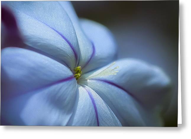 Plumbago Greeting Card by Maria Robinson