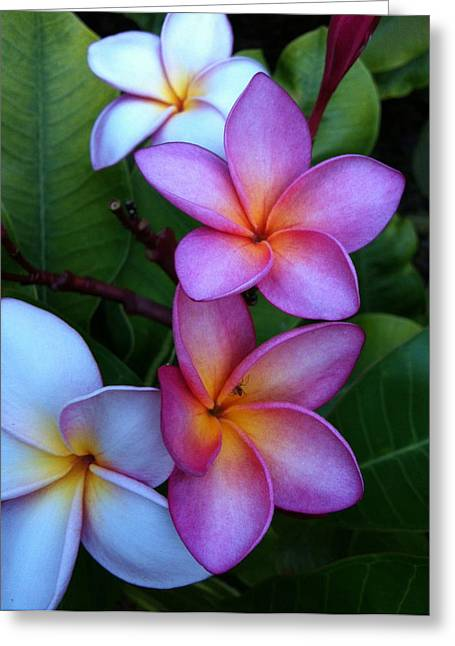 Plumeria Blossoms Greeting Card