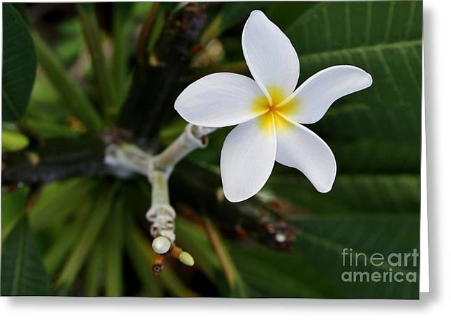 Plumeria Greeting Card by Butch Phillips