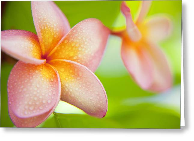 Plumeria Pastels Greeting Card by Sean Davey