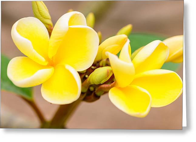 Plumerias Of Paradise 14 Greeting Card