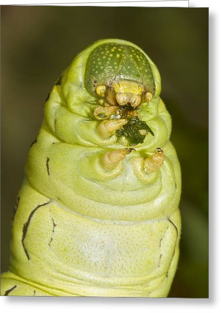 Plump Green Caterpillar Greeting Card