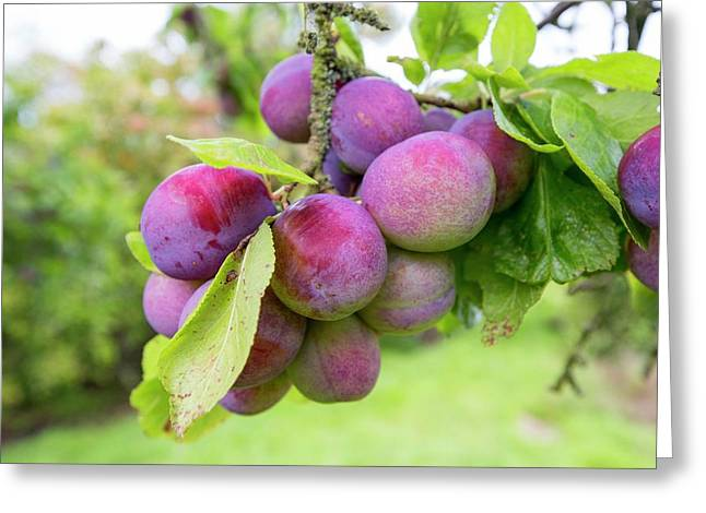 Plums Growing In An Orchard Greeting Card by Ashley Cooper