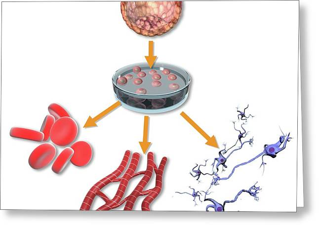 Pluripotent Stem Cells Greeting Card by Gunilla Elam