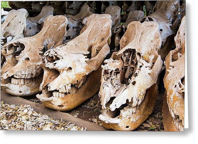 Poached Rhino Skulls Display Greeting Card by Peter Chadwick