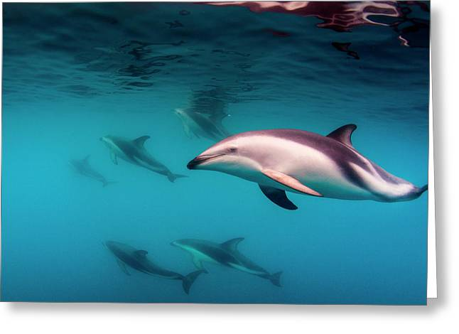 Pod Of Dusky Dolphins (lagenorhynchus Greeting Card